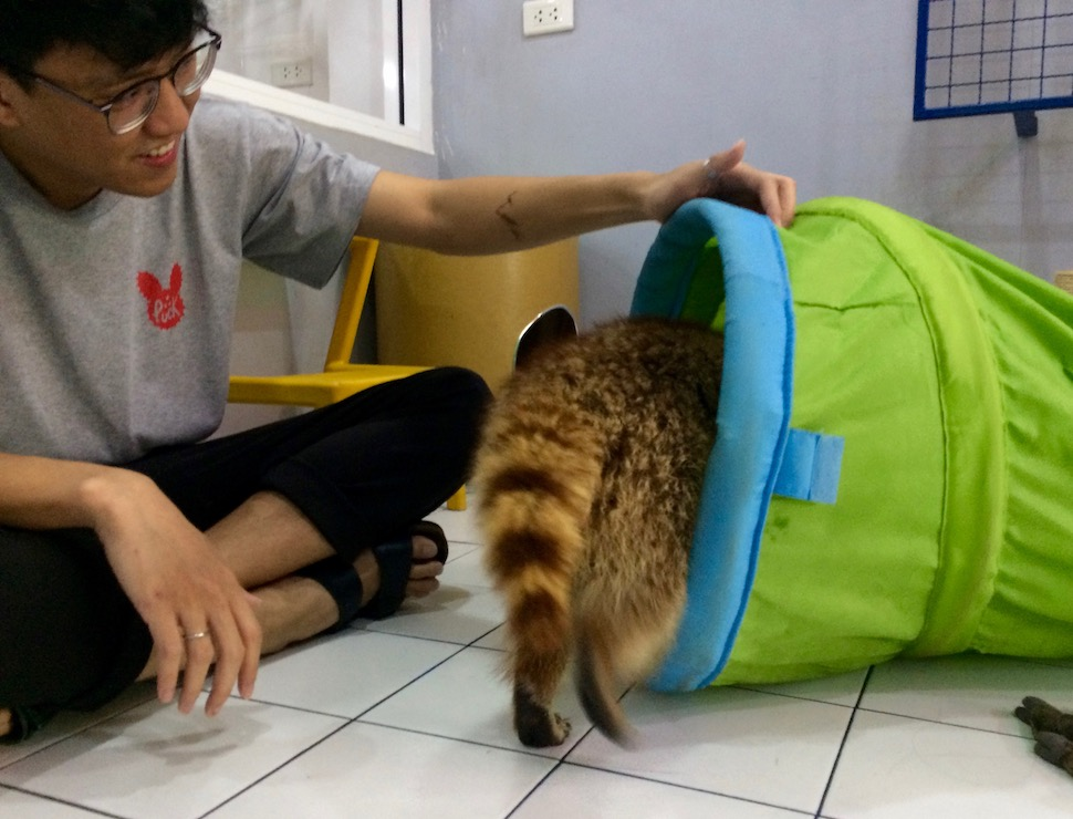 Pooltime Raccoon Cafe - Bangkok, Thailand | Cartogramme